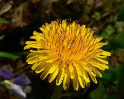dandelion coffee flowers