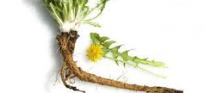 dandelion coffee roots
