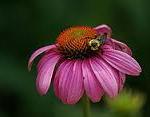 herbal tea types echinacea