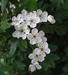 herbal tea types hawthorn