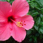 herbal tea types hibiscus