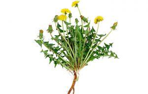 best harvest dandelion roots for tea