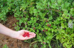 gardening raspberry plants