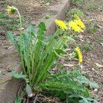 harvest best dandelion plant