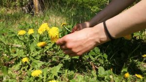 harvest dandelion roots guide