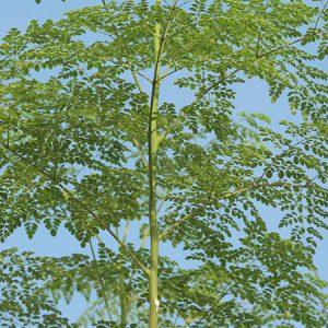 moringa tea tree facts