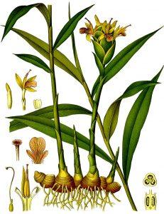 ginger tea plant